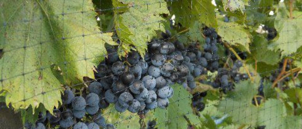 Grapes from our vineyard